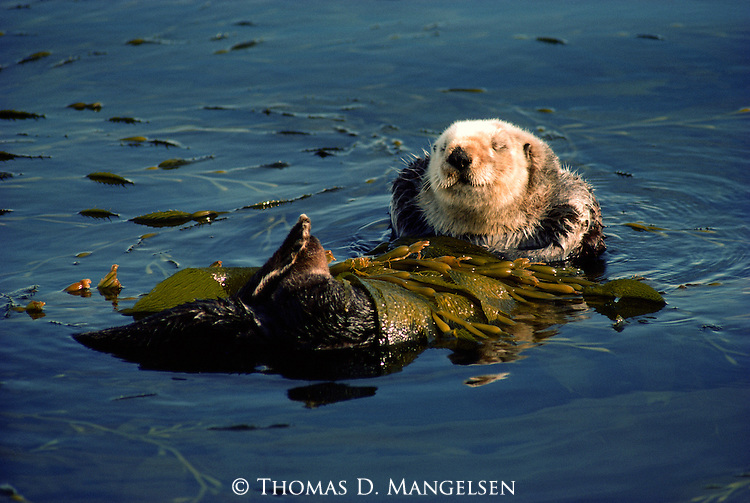 A California sea otter floats on its back in Monterey Bay, California. Rolling up in kelp prevents the tide from carrying the sea otter away and tethers it to the area.