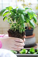 Gardening- fresh basil