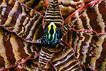 Dyeing poison arrow frog, Para, Brazil
