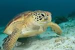 Green turtle, Chelonia mydas, Panglao Island, Turtle Point, Visayas, Philippines 2017