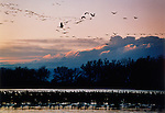 Sandhill cranes stand in the water or fly with the many other waterfowl that live on the Platte River.
