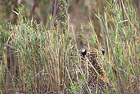 A leopard cub listens intently while hidden in the long grass of a riverbed.
