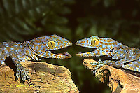 GK02-016z  Tokay Gecko dedending territory - Gekko gecko