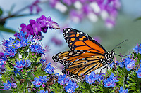 Monarch butterfly (Danaus plexippus) on garden flower, Big Sur Coastline, CA.  Fall.