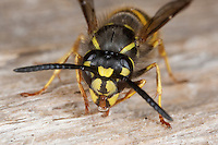 Gemeine Wespe, Gewöhnliche Wespe, Portrait, Porträt, Vespula vulgaris, Paravespula vulgaris, common wasp, yellowjacket