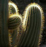Europe/Espagne/Iles Canaries/Lanzarote/Guatiza : Le jardin de cactus conçu par Cesar Manrique - Détail cactus