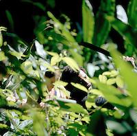 Guide leading tourists through rainforest at the Tortuguero National Park, East Coast, Tortuguera, Limon, Costa Rica