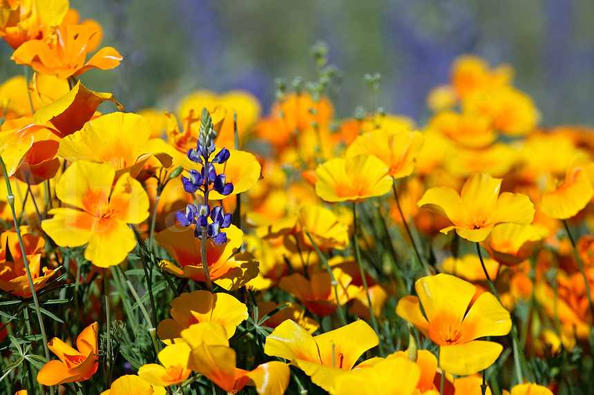Wildflowers including Lupine and Mexican Gold Poppies (Eschscholzia californica subsp. mexicana) along Route 66, near Oatman, Arizona