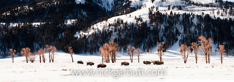 Herd of American Bison (Bison bison) grazing along the Lamar River Valley, Yellowstone National Park, Wyoming, USA. February 2012.(digitally stitched image)