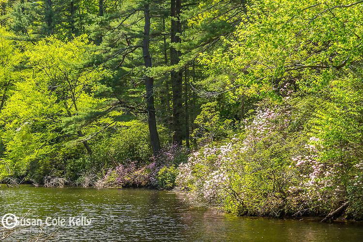 Azaleas  surrounding a pond at Maudslay State Park in Newburyport, Massachusetts, USA
