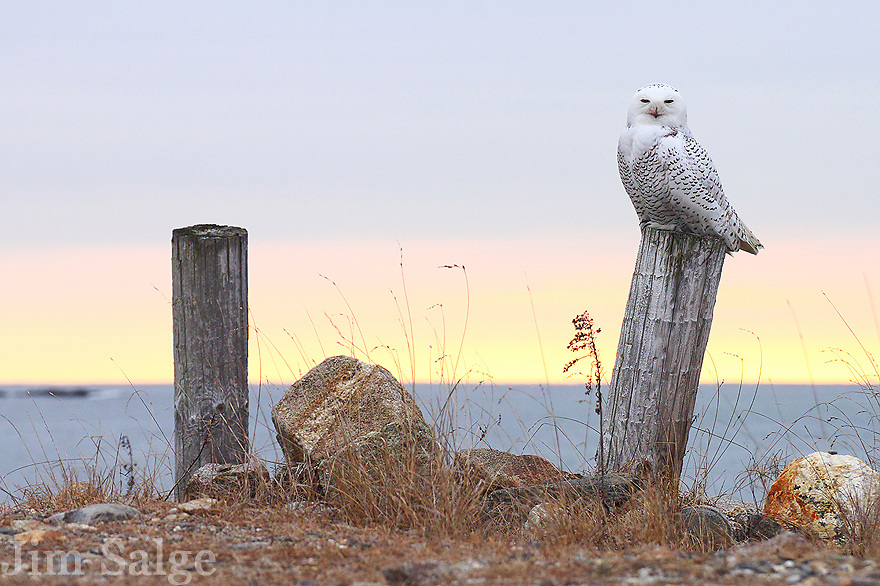The winter of 2011 -2012 was an irruptive year for Snowy Owls, and I was hearing rumors of a bird at the State Park beach  in late December.  After walking the dunes for an hour, I was heading back to the picnic area when this bird flew in.  I spent a few hours with the bird that morning, capturing it comfortably in its habitat. Two owls ended up wintering over, but despite many sightings,  I was never able to duplicate the experience.