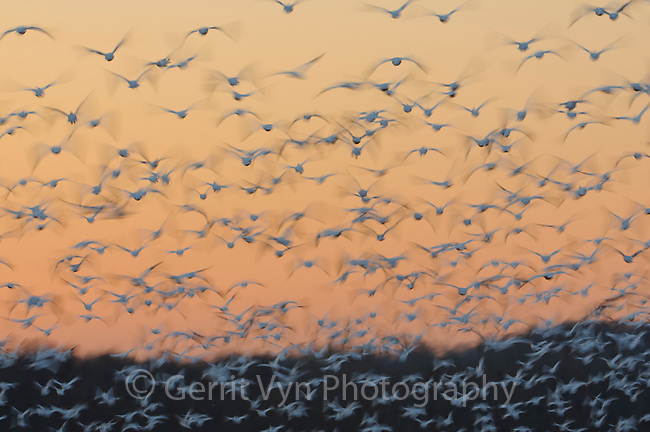 """Flock of """"Greater"""" Snow Geese (Chen caerulescens) taking flight at sunset during migration. Montezuma NWR, New York. March."""