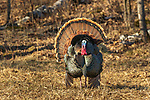 Male eastern wild turkey strutting in the late afternoon light.