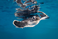 green sea turtle hatchling, Chelonia mydas, endangered species, Yukatan, Mexico, Caribbean Sea, Atlantic Ocean (c)