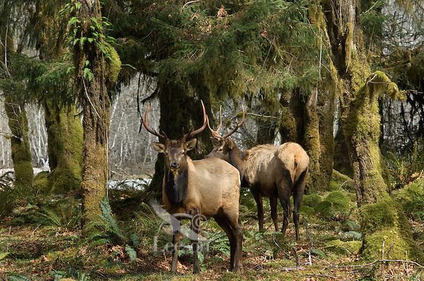 Roosevelt Elk bulls (Cervus elaphus roosevelti) in Olympic National Park temperate rain forest.
