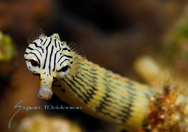 Striped Pipefish , Network Pipefish, Corythoichthys flavofasciatus, Lembeh Straits, Sulawesi Sea, Indonesia, Amazing Underwater Photography