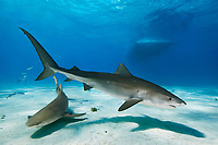 Tiger Shark, Galeocerdo cuvier, Lemon Shark, Negaprion brevirostris, and boat, West End, Grand Bahama, Bahamas, Caribbean, Atlantic Ocean