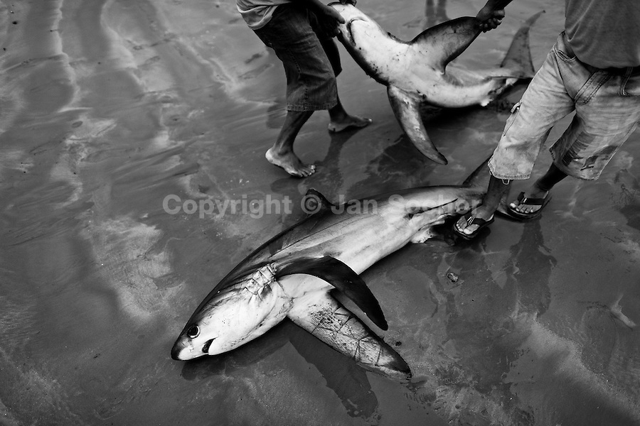 Fishermen carry dead bodies of thresher sharks at dawn on the beach of Puerto Lopez, Ecuador, 6 April 2012. Every morning, hundreds of shark bodies and thousands of shark fins are sold on the Pacific coast of Ecuador. Although the targeted shark fishing remains illegal, the presidential decree allows free trade of shark fins from accidental by-catch. However, most of the shark species fished in Ecuadorean waters are considered as ?vulnerable to extinction? by the World Conservation Union (IUCN). Although fishing sharks barely sustain the livelihoods of many poor fishermen on Ecuadorean at the end of the shark fins business chain in Hong Kong they are sold as the most expensive seafood item in the world. The shark fins are primarily exported to China where the shark's fin soup is believed to boost sexual potency and increase vitality. Rapid economic growth across Asia in recent years has dramatically increased demand for the shark fins and has put many shark species populations on the road to extinction.
