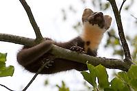 Baummarder, Edelmarder, Marder, Jungtier klettert in einem Baum, Martes martes, Pine marten, Martre des pins