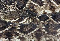 0419-1009  Southern Pacific Rattlesnake (Black Diamond Rattlesnake, Pacific Rattler), Southwest California, Crotalus oreganus helleri (syn. Crotalus viridis helleri)  © David Kuhn/Dwight Kuhn Photography.