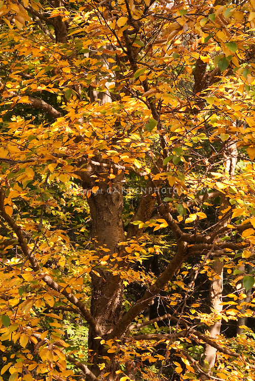 Betula alleghaniensis Native Birch tree in fall autumn color