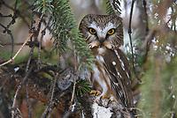Northern Saw-whet Owl (Aegolius acadicus) roosting with prey. Washington. February.