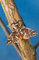 Birkenspinner, Birken-Spinner, Scheckflügel, Endromis versicolora, Kentish Glory, Le Bombyx versicolore