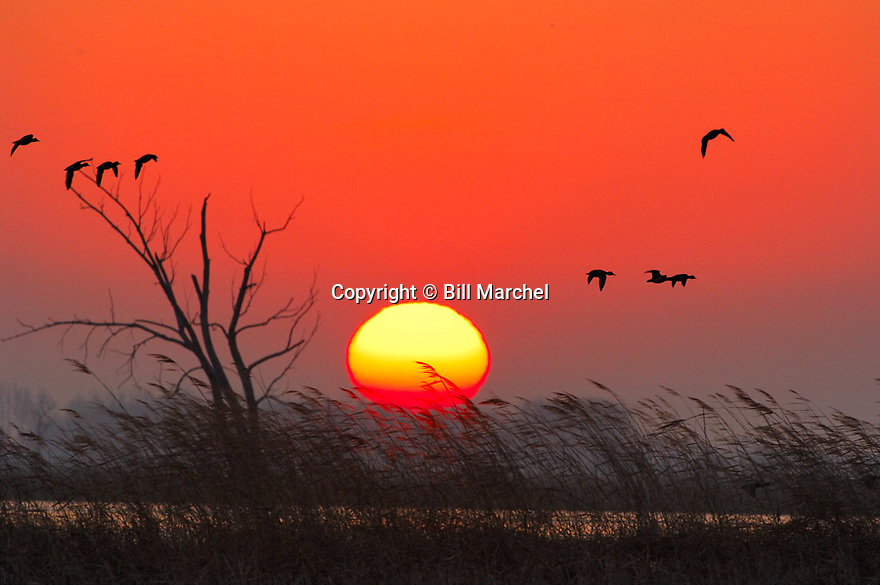 01080-013.04 Sunrise (DIGITAL) Various waterfowl are silhouetted against low sun and orange sky.  Hunt, marsh, wetland.  H0E1
