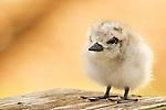 White Tern (Gygis alba) chick, Midway Atoll, Hawaiian Leeward Islands, Hawaii