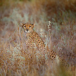 Cheetah, Kenya