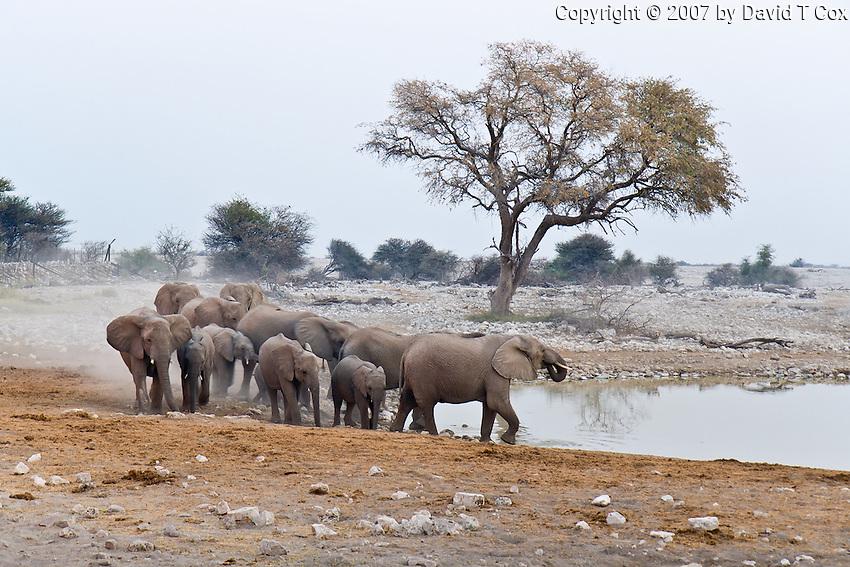 Elephant herd at Okaukuejo Waterhole, Etosha NP, Namibia