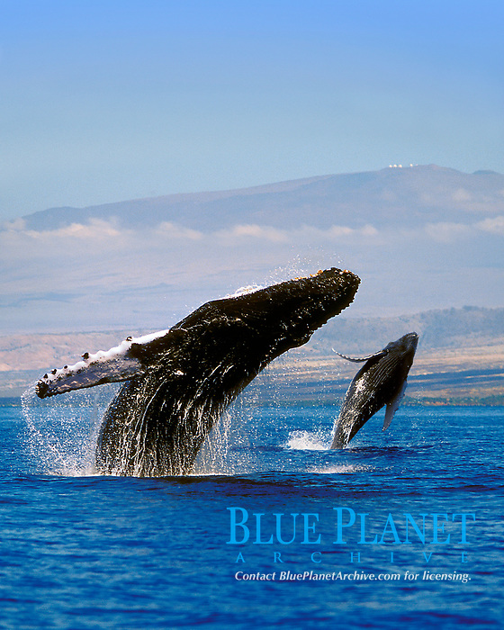humpback whales, double breach, Megaptera novaeangliae, mother and calf, Mauna Kea Observatories visible at the peak, Hawaii, Pacific Ocean (dc)