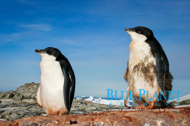 Adelie Penguin, Pygoscelis adeliae, creche of downy chicks fledging in Antarctic Waters near the Antarctic Peninsula.