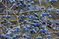 Schlehe, Schlehenfrüchte, Frucht, Früchte, Schlehenbeeren, Schlehen, Gewöhnliche Schlehe, Schwarzdorn, Prunus spinosa, Blackthorn, Sloe, fruit, Epine noire, Prunellier