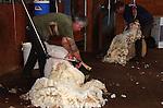 Sheep & Shearing