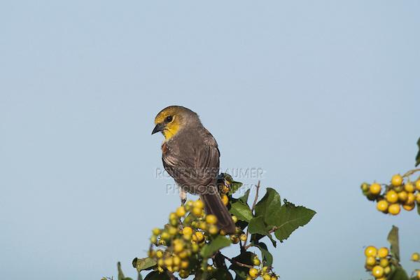 Verdin (Auriparus flaviceps), adult perched, Sinton, Corpus Christi, Coastal Bend, Texas, USA
