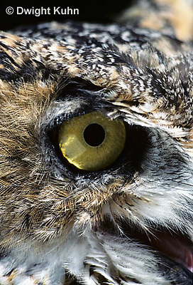 OW06-063z  Great horned owl - close up of eye - Bubo virginianus