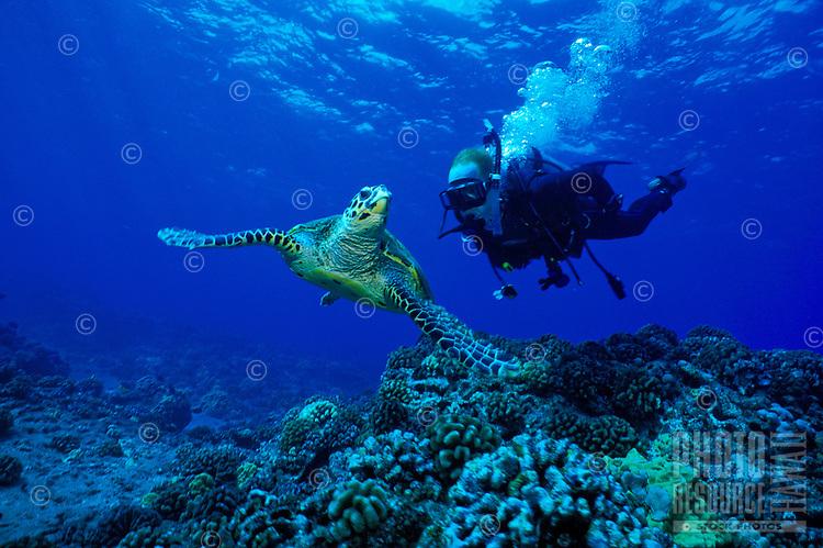 A Hawksbill Sea Turtle(Eretmochelys imbricata) catches the eye of a curious scuba diver. Hawaiian name is 'ea.