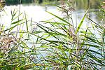 Europa, DEU, Deutschland, Nordrhein-Westfalen, Niederrhein, Nettetal, Naturpark Schwalm-Nette, De Wittsee, Schilf, Pflanzen, Natur, Umwelt, Landschaft, Jahreszeiten, Stimmungen, Landschaftsfotografie, Landschaften, Landschaftsphoto, Landschaftsphotographie, <br /> <br /> [Fuer die Nutzung gelten die jeweils gueltigen Allgemeinen Liefer-und Geschaeftsbedingungen. Nutzung nur gegen Verwendungsmeldung und Nachweis. Download der AGB unter http://www.image-box.com oder werden auf Anfrage zugesendet. Freigabe ist vorher erforderlich. Jede Nutzung des Fotos ist honorarpflichtig gemaess derzeit gueltiger MFM Liste - Kontakt, Uwe Schmid-Fotografie, Duisburg, Tel. (+49).2065.677997, ..archiv@image-box.com, www.image-box.com]