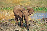 African Elephant calf (Loxodonta africana)