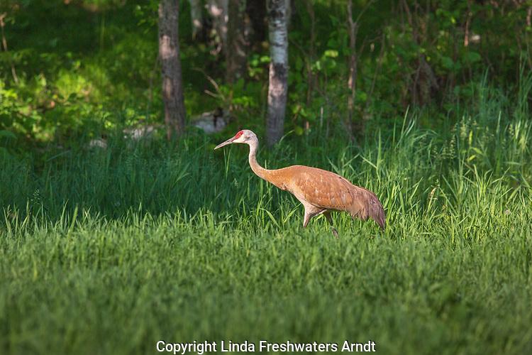 Sandhill crane walking in a meadow in northern Wisconsin.