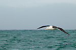 Black-browed Albatross (Thalassarche melanophrys) gliding over ocean, Kaikoura, South Island, New Zealand