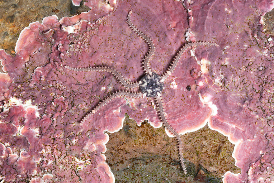 Brittlestar {Amphipholis squamata} in rockpool, Isle of Skye, Scotland.