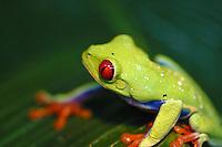 Red-eyed Tree Frog ( Agalychnis callidryas ), Monteverde, Costa Rica.