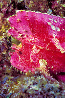 leaf scorpionfish, Taenianotus triacanthus, Kona Coast, Hawaii Island, Big Island, Hawaiian Islands, USAA (Pacific Ocean)