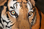 Close-up of Tigers Face