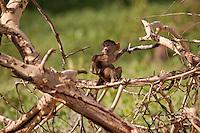 Yellow Baboon infant playing in tree, outside Amboseli National Park, Kenya.