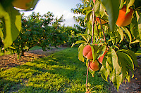 Peach Orchard, Gloucester County, New Jersey