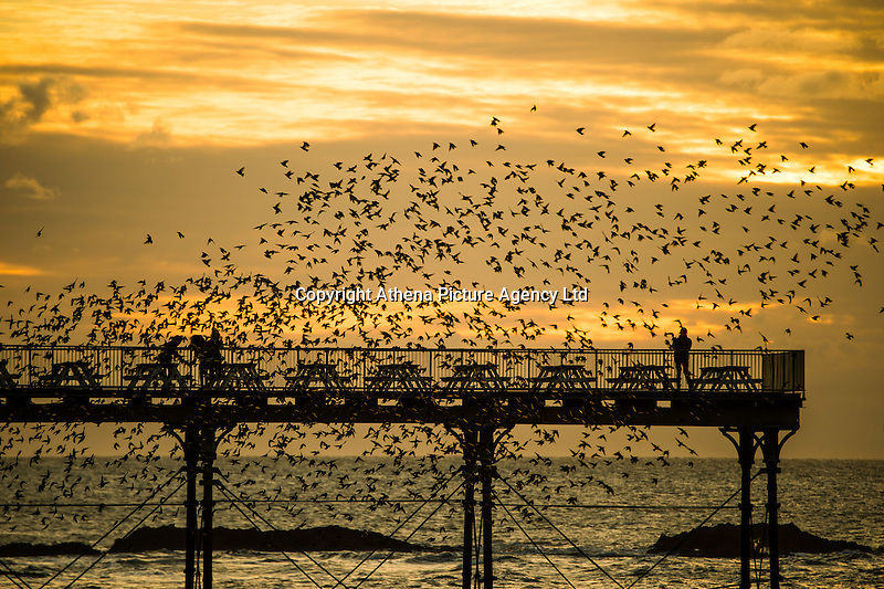Aberystwyth Wales UK, Sunday 14 February 2016<br /> UK weather: A flock of thousands of tiny starlings fly in huge 'murmurations' over  the seaside pier as the sun sets over Cardigan Bay  at  Aberystwyth on the west wales coast.<br /> The birds  roost on the cast iron legs of the victorian-era pier, one of only a handful of urban roosts in the UK