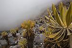 fraijelones dans le brouillard.Sierra del Cocuy